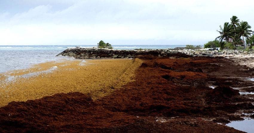 algues antilles