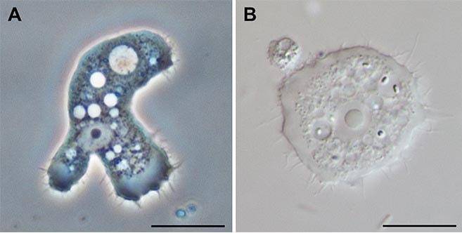 amibe microscope