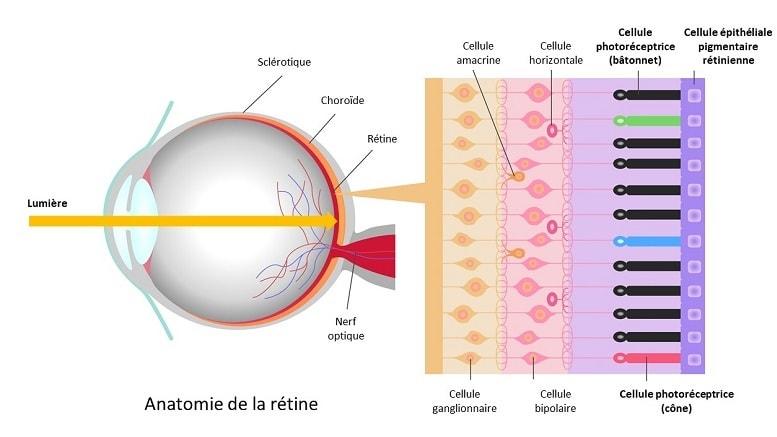 anatomie oeil