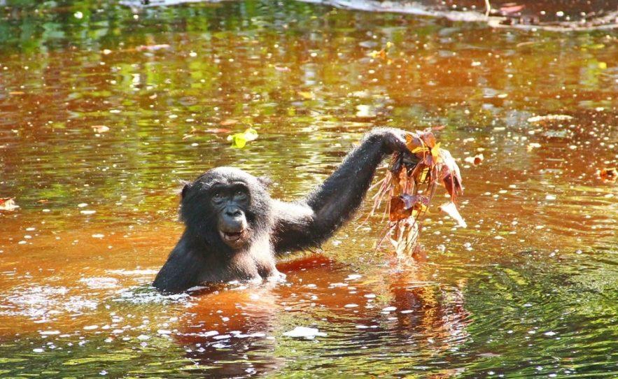 bonobos herbes aquatiques