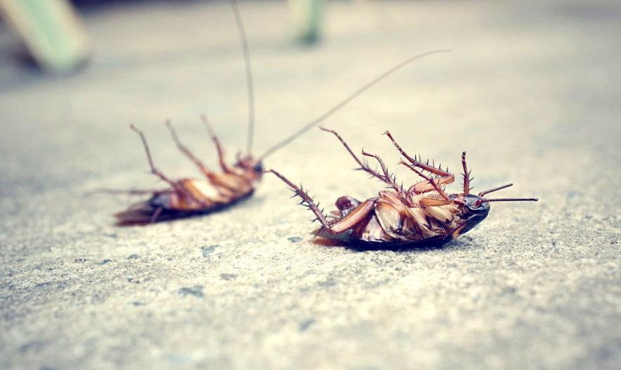 cafards etude montre adaptation rapide insecticides