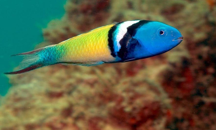 changement sexe poissons