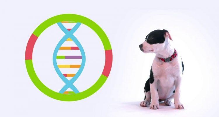 chiens genetique