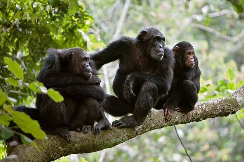 chimpanzes arbres