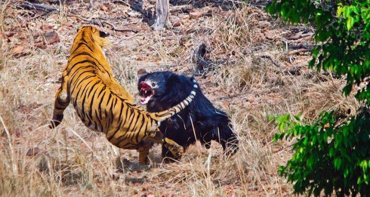 combat tigre et ours lippu 2018