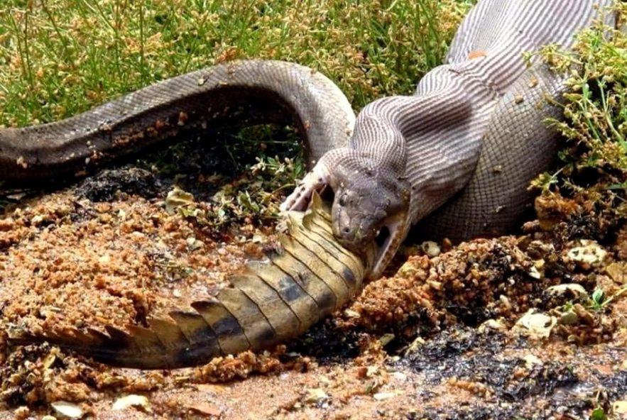 crocodie serpent repas