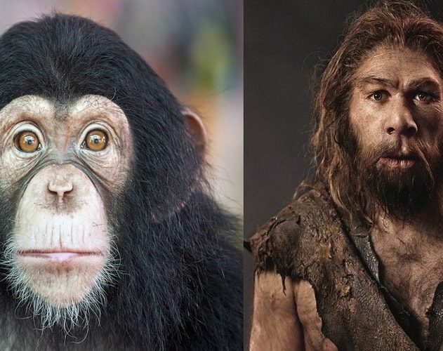evolution homme chimpanzes