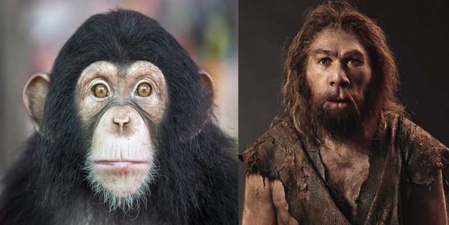 evolution homme chimpanzes