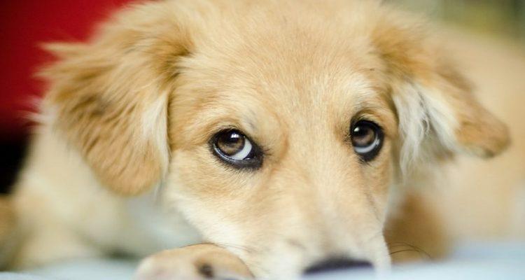 evolution yeux chiens