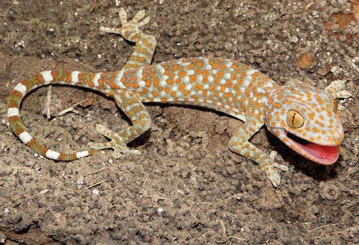 gecko salmonelle