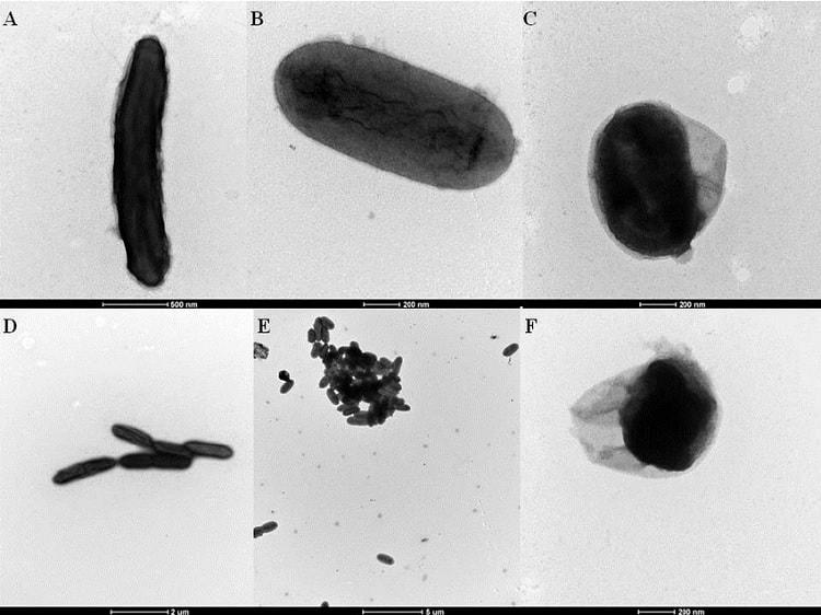 geobacter sulfurreducens
