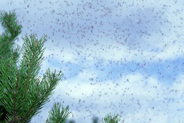 invasion fourmis volantes