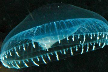 meduse fluorecence australis