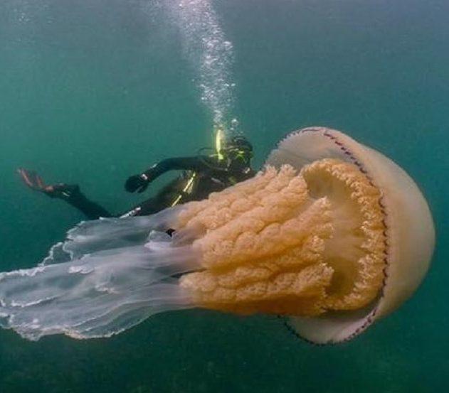 meduse plongeur