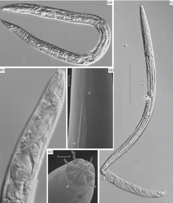 nematodes pergelisol