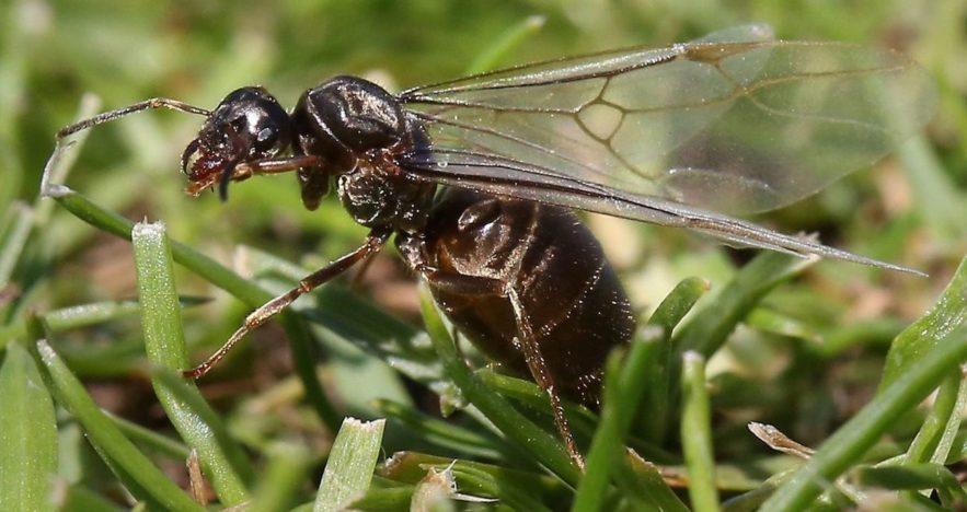 nuee fourmis volantes grande bretagne