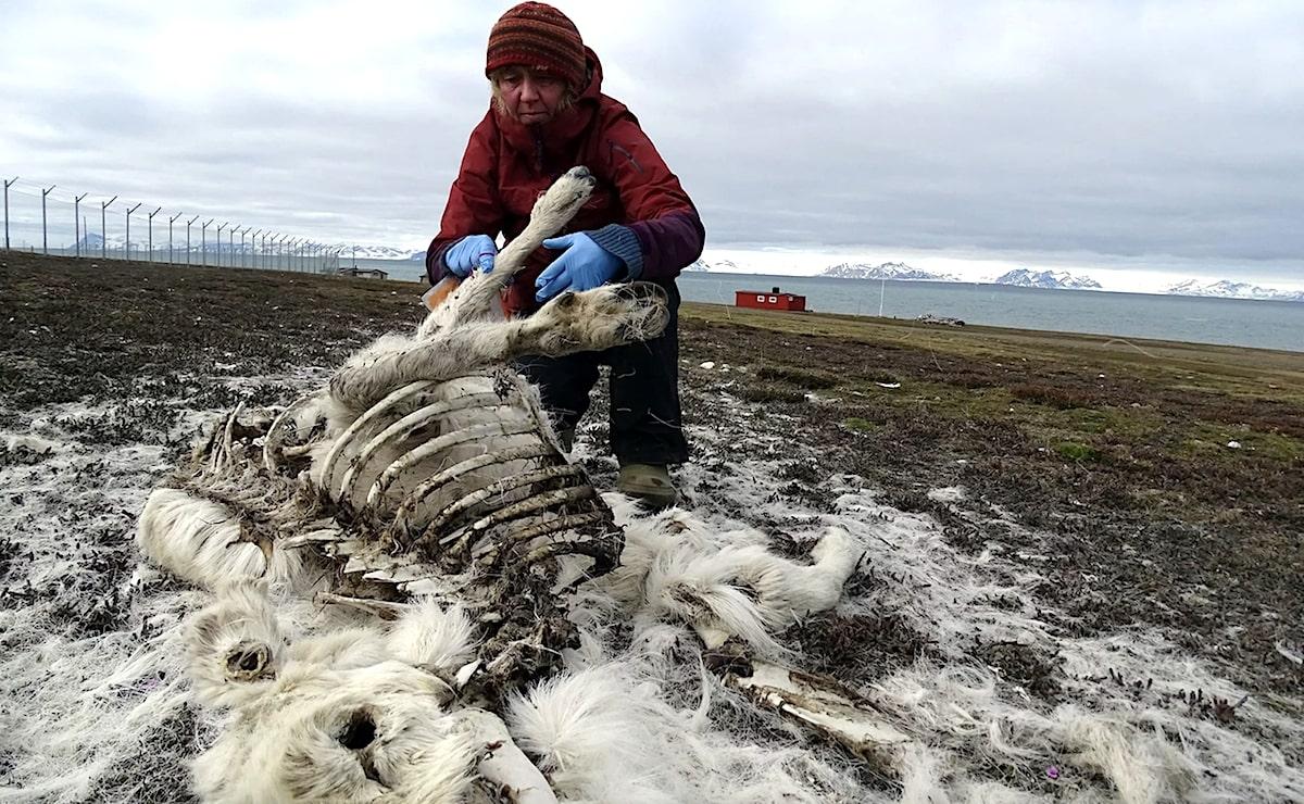 plus 200 rennes morts norvege rechauffement
