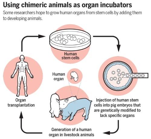 Japon : le développement d'embryons humains-animaux autorisé