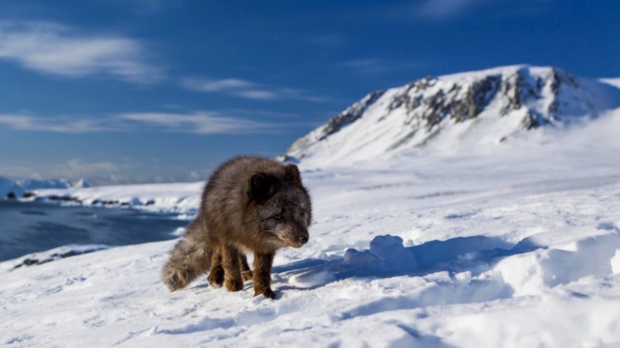 renard polaire norvege canada