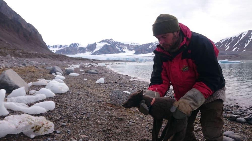 renard polaire voyageur