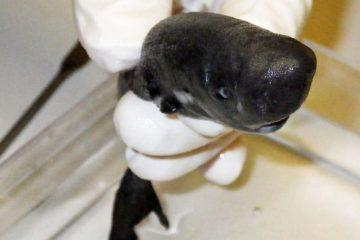 requin poche golfe