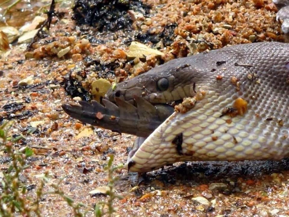serpent repas repus crocodile englouti