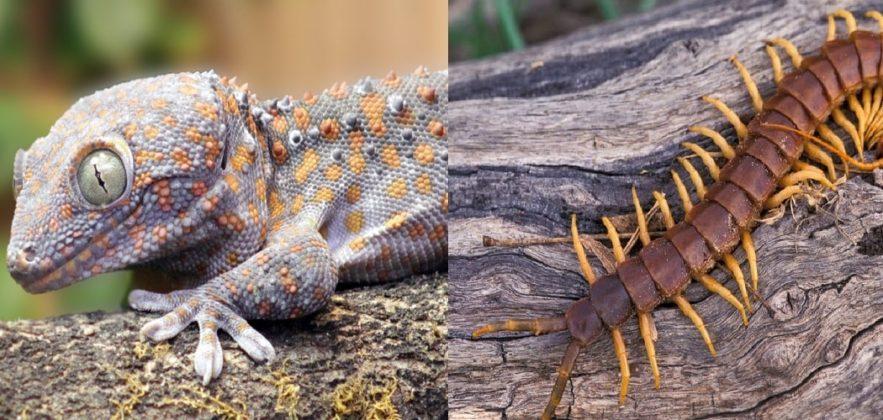 streamer gecko scolopendre