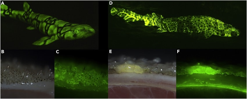 biofluorescence peau requins