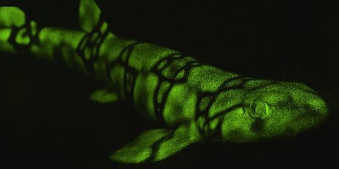 biofluorescence requins