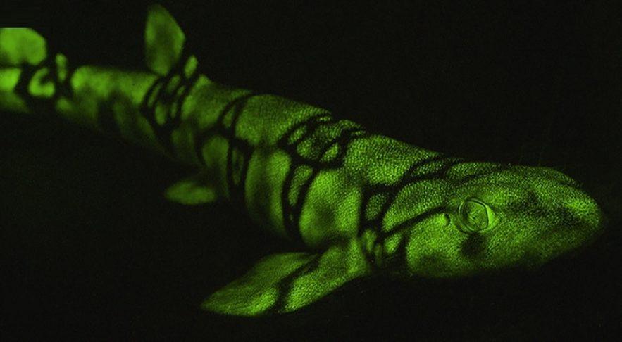 biofluorescence requins