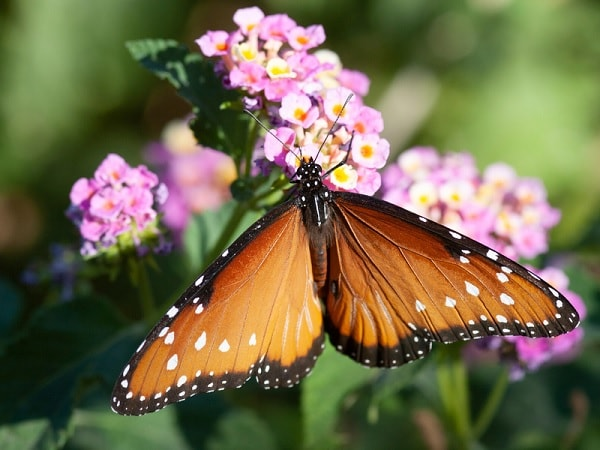 insectes papillon