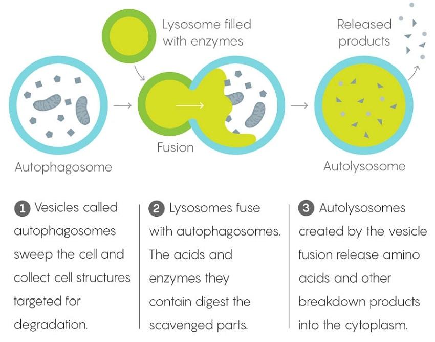 lysosome mécanisme