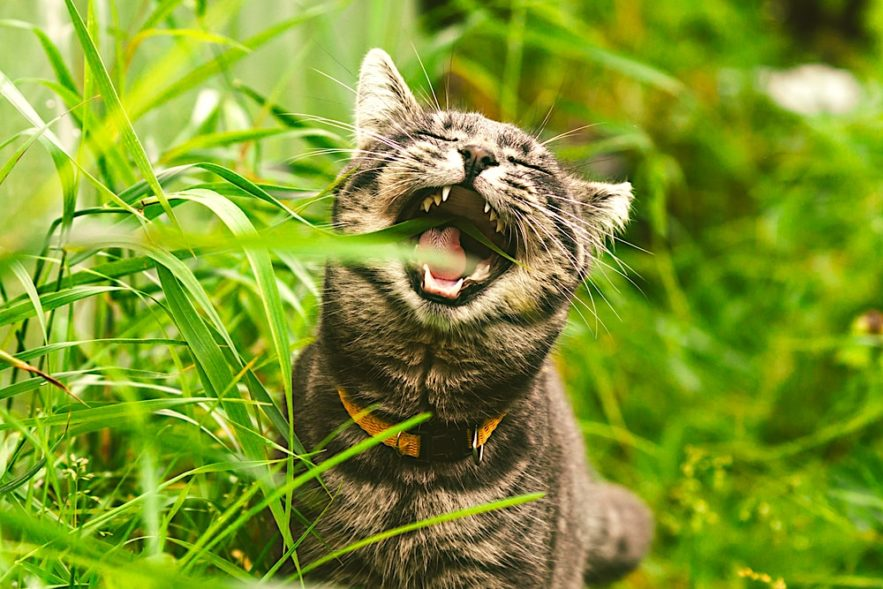 pourquoi chats mangent herbe etude