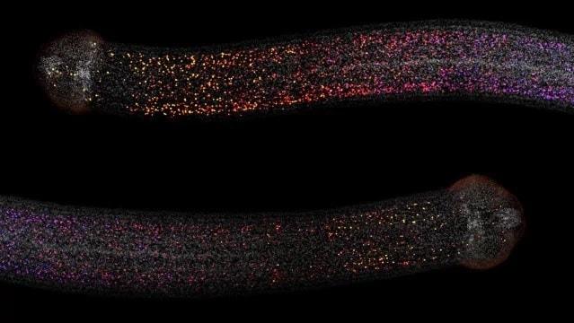 cellules souches ver