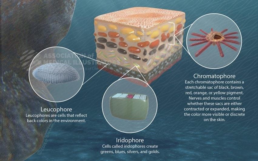 chromatophores pieuvres