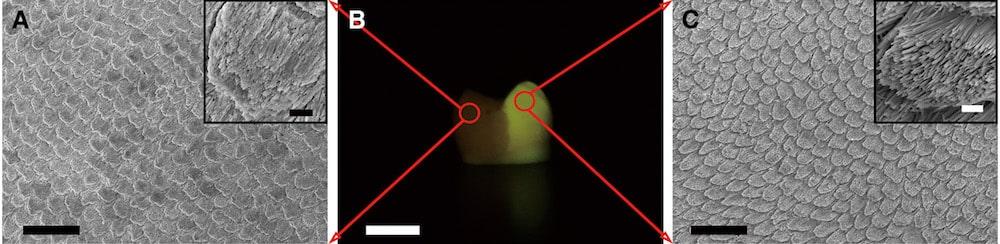 gel pour regenerer email dentaire explications schema