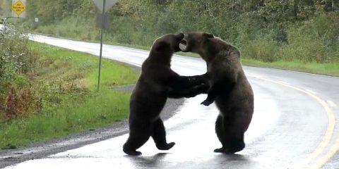grizzlis bagarre route colombie-britannique