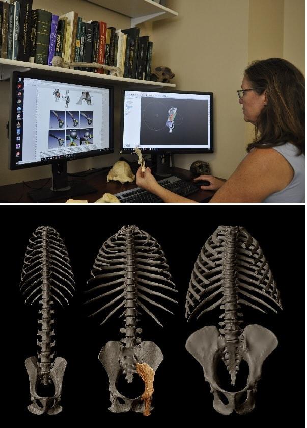 modelisation pelvis