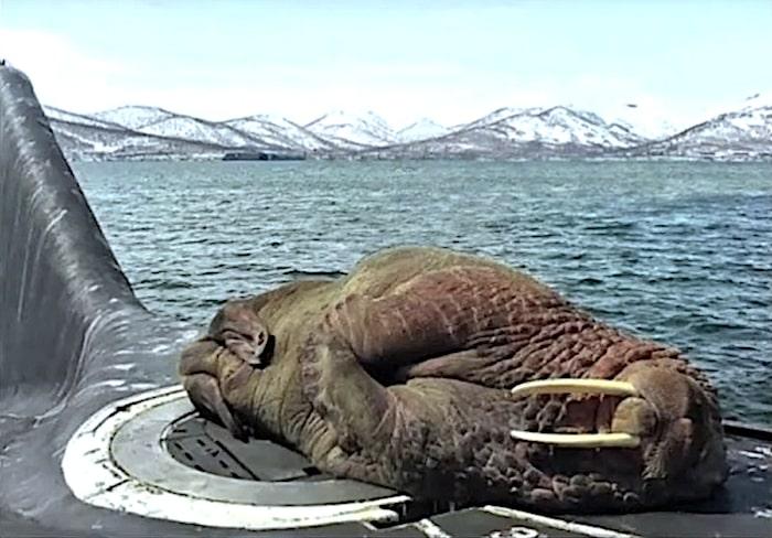 morse endormi sur sous marin russe