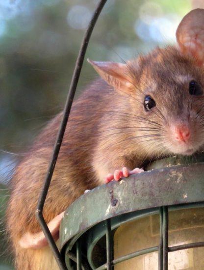 rat cache-cache