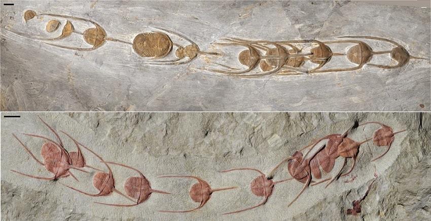 alignement trilobites