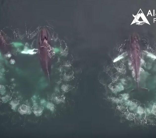 baleines bulles