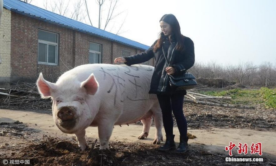 chine porcs geants