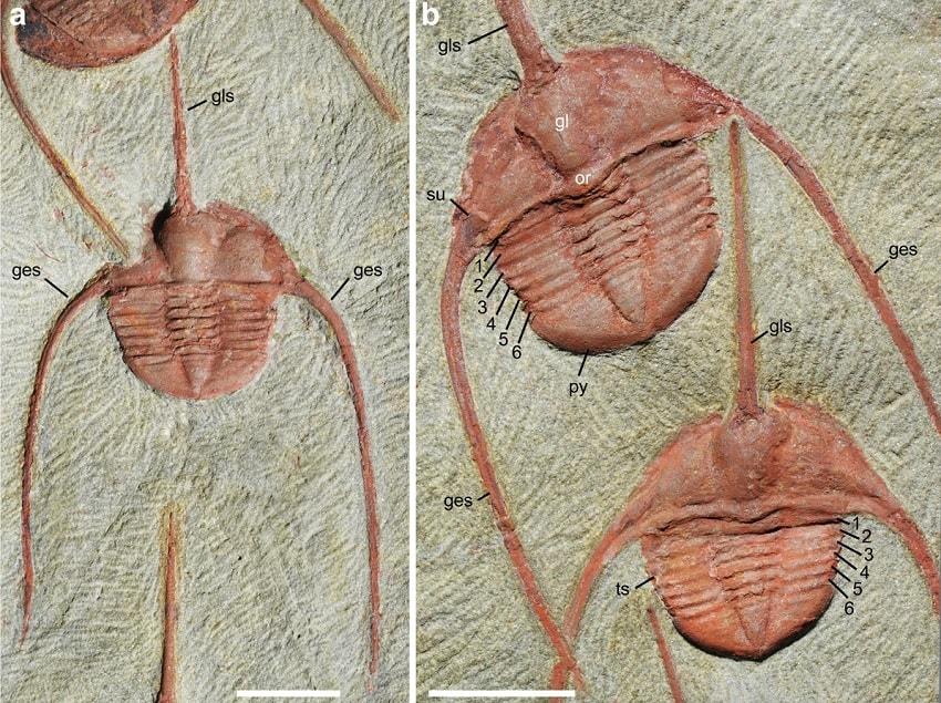 details trilobites