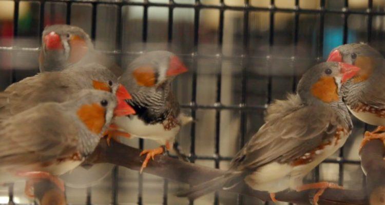 oiseau-diamant-mandarin