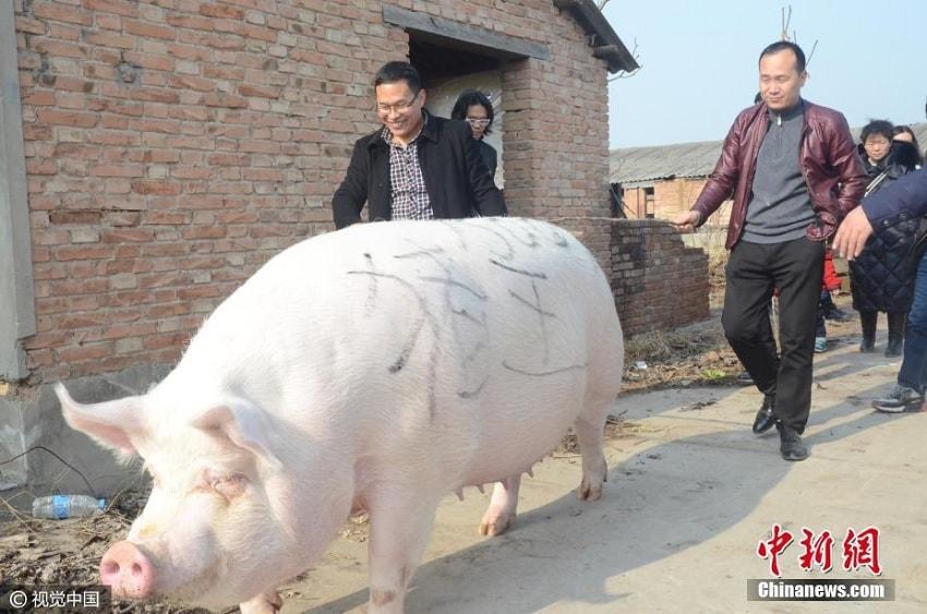 eleveurs porc geant