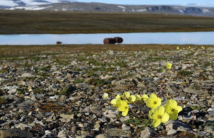 fleurs arctique