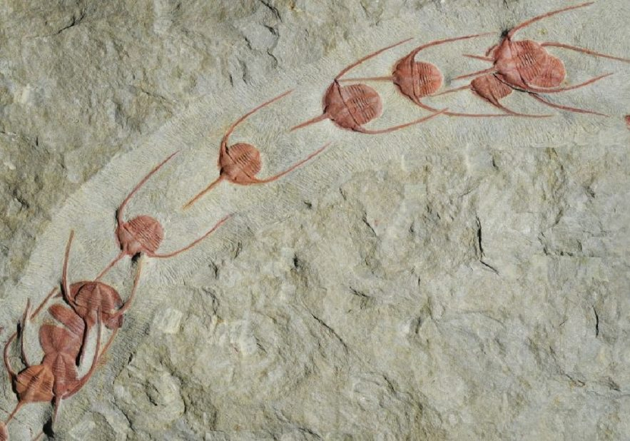fossile trilobites