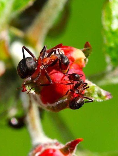 fourmis reduisent maladies plantes antibiotiques