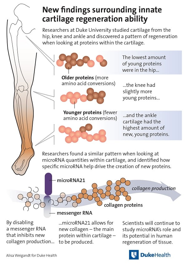 infographie cartilage